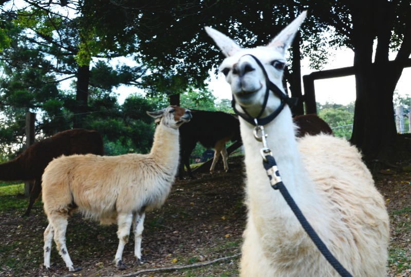 Dayboro Cottages and Llama Walks